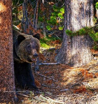 Adult Grizzly Bear in Yellowstone.