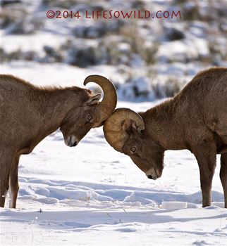 Rocky Mountain Bighorn Sheep, National Elk Refuge.