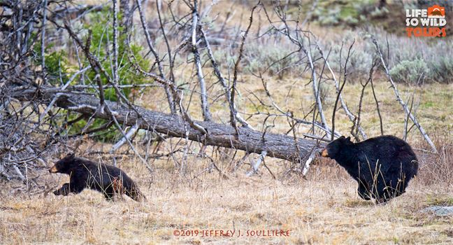 Black Bear Sow with a yearling cub.