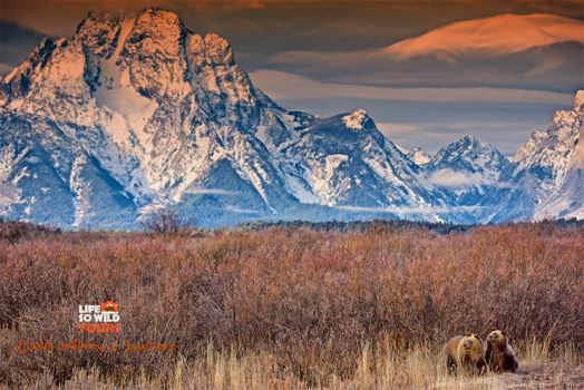 Grizzly Bear Cubs at sunrise, in the Tetons.