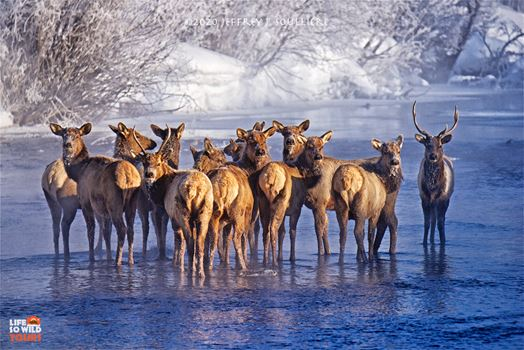 Elk at sunrise at -16º in Jackson Hole.