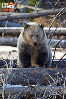 Juvenile Grizzly Bear Sow