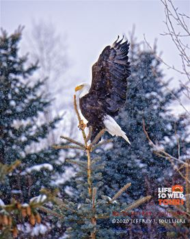 Bald Eagle in Jackson Hole.