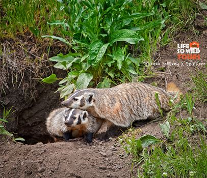 American Badger and cub at the den, Yellowstone.