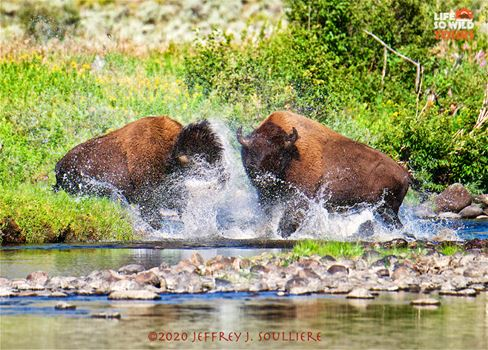 Two challenging Bull Bison, the bison rut, Yellowstone.